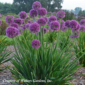 Allium 'Lavender Bubbles' Ornamental Onion