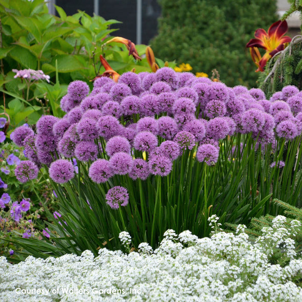Allium x Millenium Ornamental Onion