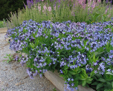 Amsonia Blue Ice Blue Star