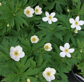 Anemone canadensis Meadow Anemone