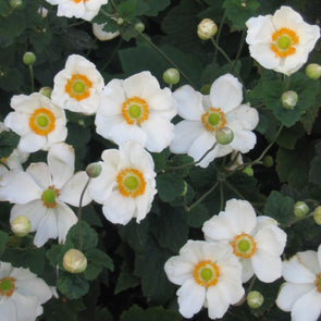 Anemone x 'Honorine Jobert'  Japanese Anemone/Windflower