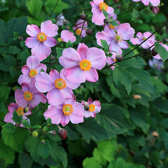 Anemone 'September Charm' Japanese Anemone/Wndflower