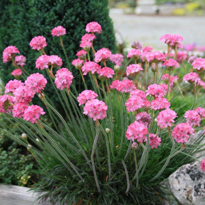 Armeria Rubrifolia Sea Thrift