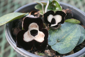 Asarum maximum Ling Ling Panda Face Ginger