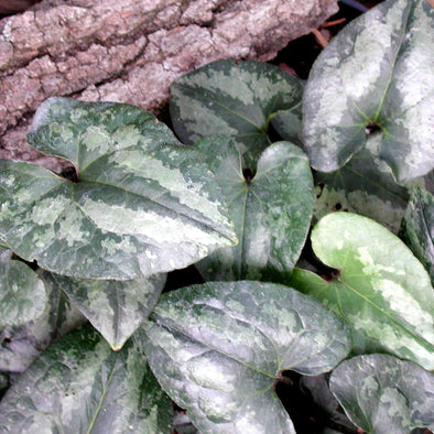 Asarum splendens Quick Silver Chinese Wild Ginger