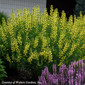 Baptisia australis 'American Goldfinch' False Indigo