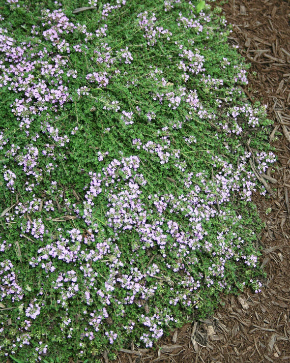 Bressingham Thyme for sale | Rare Roots