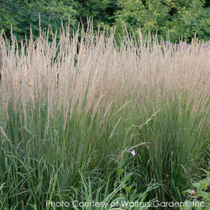 Calamagrostis 'Karl Foerster' Feather Reed Grass