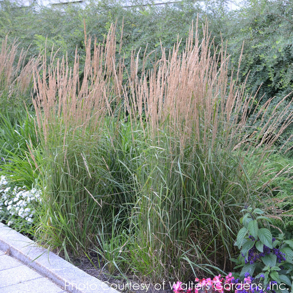 Calamagrostis acutiflora 'Karl Foerster' Feather Reed Grass