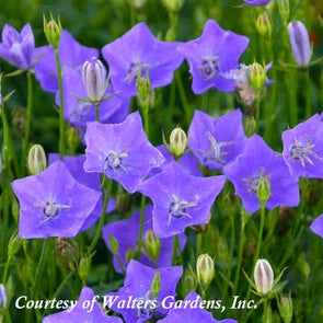 Campanula carpatica 'Violet Teacups' Carpathian Bellflower
