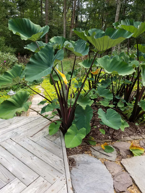 Colocasia esculenta Coffee Cups for sale | Rare Roots