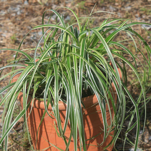 Carex oshimensis Feather Falls for sale | Rare Roots