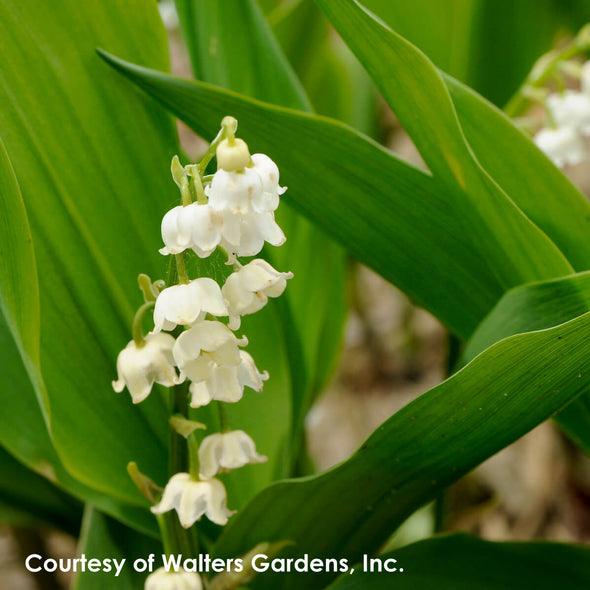 Convallaria majalis Bordeaux Lily of the Valley