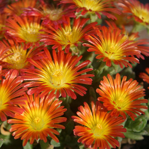 Delosperma 'Fire Wonder' Ice Plant