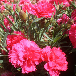 Dianthus 'Sunflor Red Allura' Pinks
