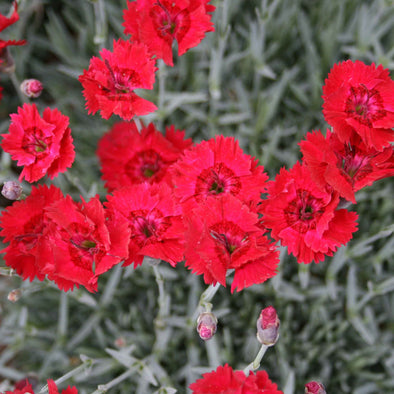 Dianthus 'Fire Star' Pinks