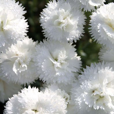 Dianthus 'Memories' Pinks