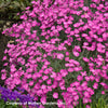 Dianthus gratianopolitanus Firewitch Cheddar Pinks for sale