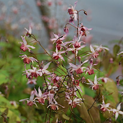 Epimedium 'Pink Elf' Barrenwort