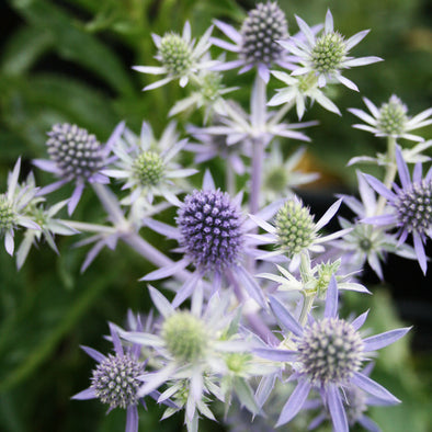 Eryngium planum 'Blue Hobbit' Sea Holly