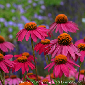 Echinacea purpurea PowWow Wild Berries Coneflower