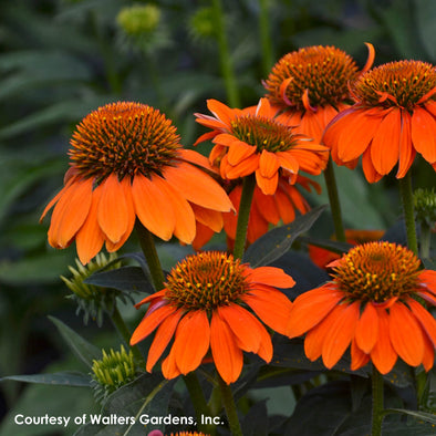 Echinacea 'Sombrero Orange' Coneflower