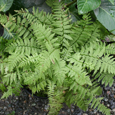 Athyrium Minutissima Dwarf Lady Fern for sale