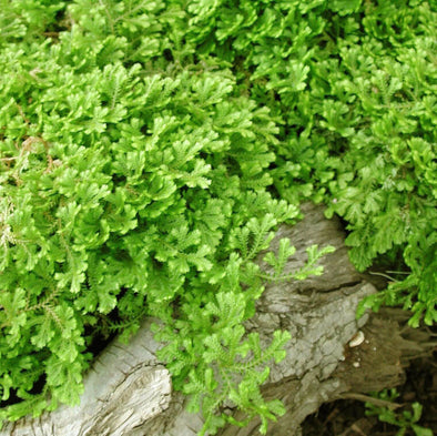 Selaginella kraussiana Aurea Golden Club Moss Fern for sale