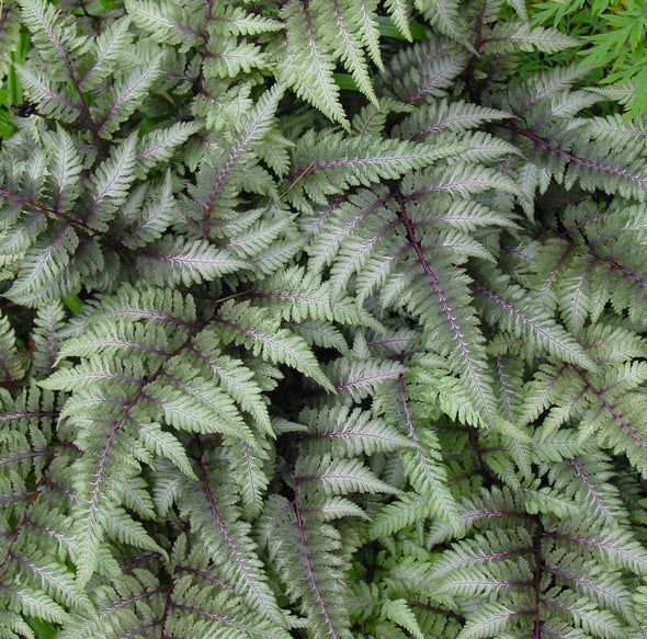 Athyrium niponicum Pictum Japanese Painted Fern for sale
