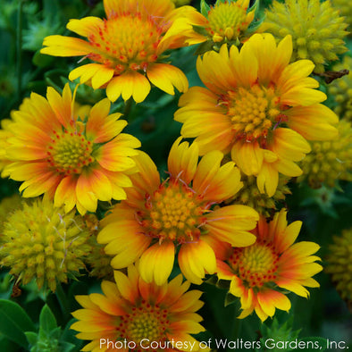 Gaillardia Arizona Apricot Blanket Flower