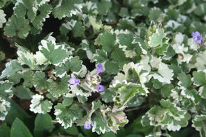 Glechoma hederacea Variegata Variegated Creeping Charlie for sale