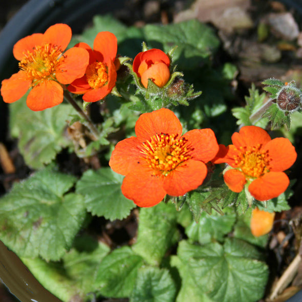 Geum coccineum Koi Avens for sale