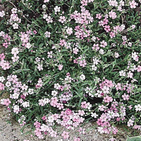 Gypsophila repens Rosea Creeping Baby's Breath for sale