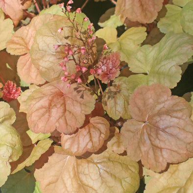 Heuchera Apricot Coral Bells for sale