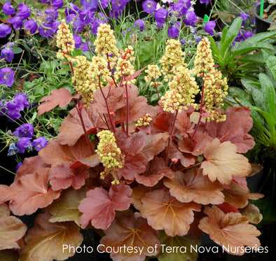 Heuchera Blondie Coral Bells