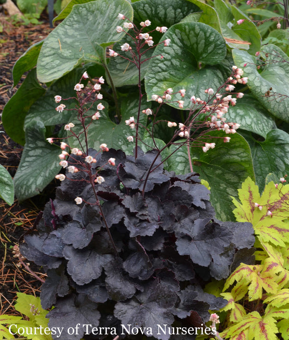 Heuchera Coco Coral Bells for sale