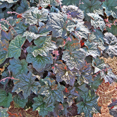 Heuchera micrantha Palace Purple Coral Bells for sale