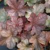 Heuchera Pinot Gris Coral Bells for sale
