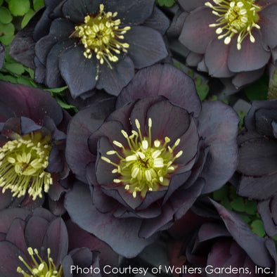 Helleborus Dark and Handsome Lenten Rose