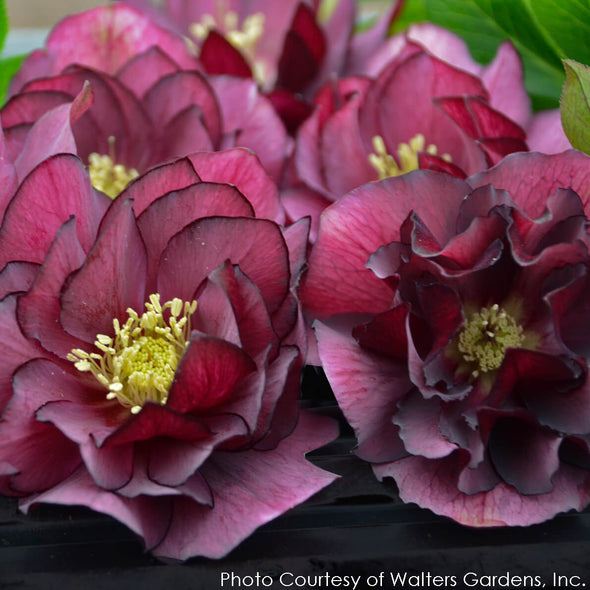 Helleborus True Love Lenten Rose