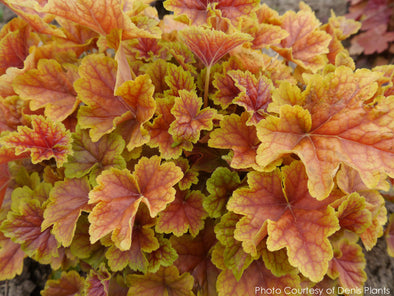 Heuchera Happy Flames Coral Bells