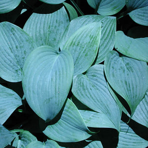 Hosta 'Fragrant Blue' Plantain Lily