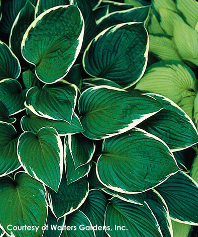 Hosta Francee Plantain Lily for sale