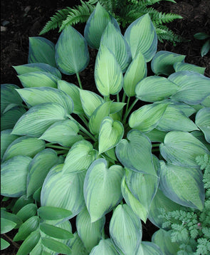 Hosta June Plantain Lily for sale