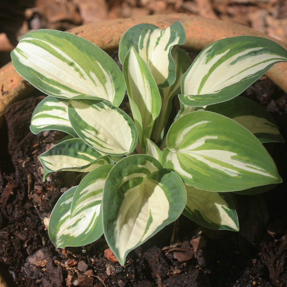 Hosta Pandora's Box Plantain Lily for sale
