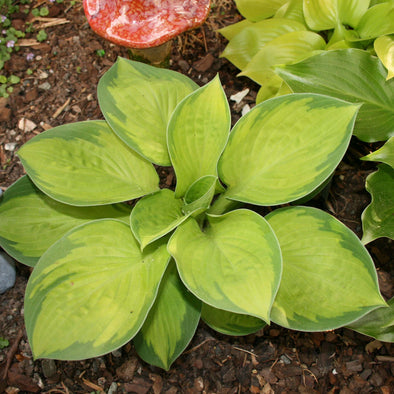 Hosta Rainforest Sunrise Plantain Lily for sale
