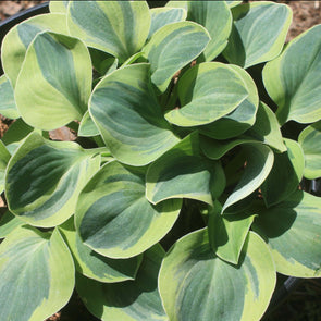 Hosta School Mouse Plantain Lily