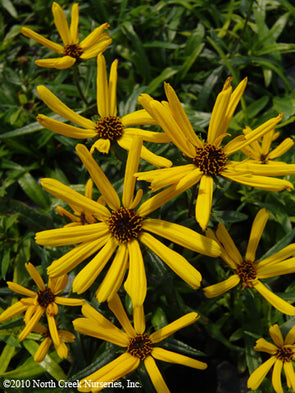 Helianthus salicifolius Low Down Sunflower for sale