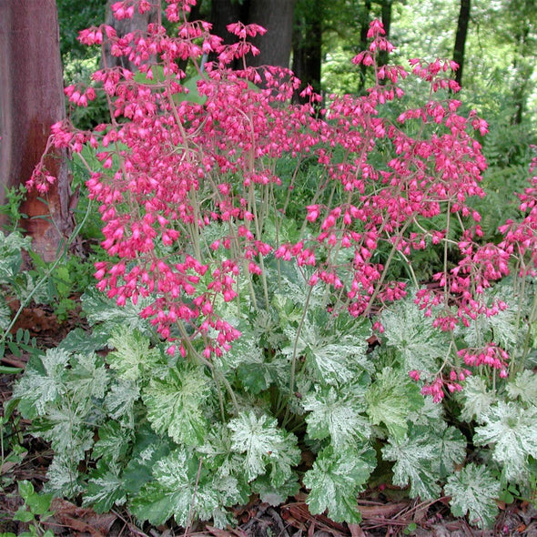Heuchera Snow Angel