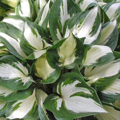 Hosta Fire and Ice Plantain Lily for sale